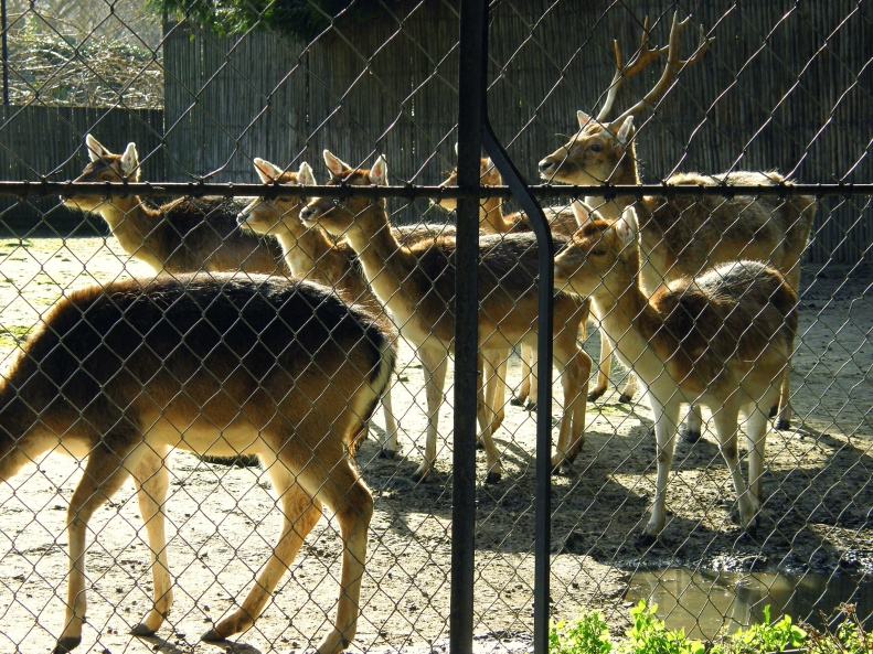 Human Zoo 01 Fallow Deer (Paris Paul Prescott) Used