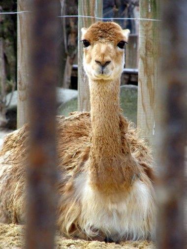 Human Zoo 03 Llama (Paris Paul Prescott)